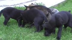 LADUNČÁTKA, štěňátka LADY z Dvořákova sadu, 19.července 2011